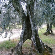 PIC 0004 Olive Baumgeschichten web